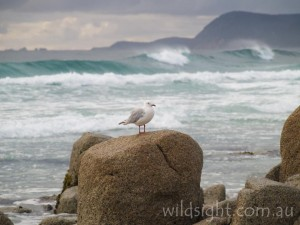 Seagull on rock, Friendly Beaches