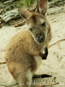 Wallaby on Wineglass Bay