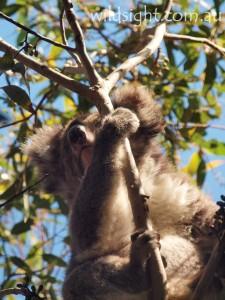 Koala near Hanson Bay