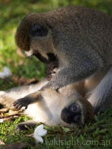 Vervet monkey grooms its young, Uganda