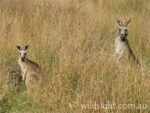 Eastern grey kangaroos near Halls Gap