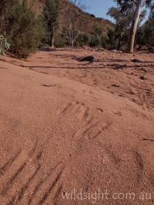 Wallaby tracks in Radium Creek