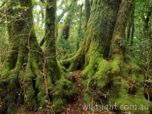 Antarctic Beech on the Border Track