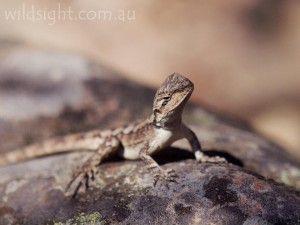 Jacky lizard in the Mt Gar Range