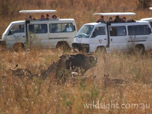 Safari buses watch a lioness teach her cubs to hunt