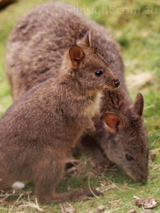 Pademelon and joey in Cradle Valley