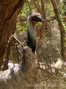 Emu at Tower Hill