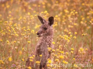 Kangaroo and wildflowers