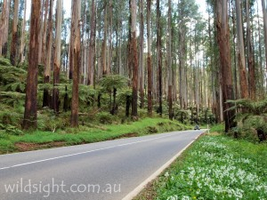 The Black Spur is a spectacular section of highway between Healesville and Marysville