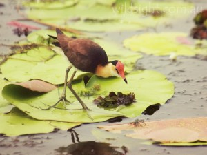 Comb-crested Jacana, Yellow Waters Billabong