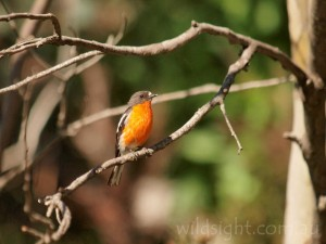 Flame robin in Cresta Valley