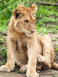 Young male lion, Serengeti