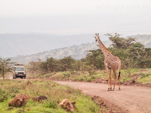 Giraffe in Ngorongoro Conservation Area