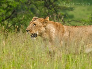 Lion, Tarangire National Park
