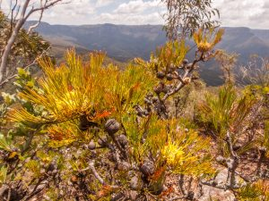 Blue Mountains, Mount Solitary, wildflower