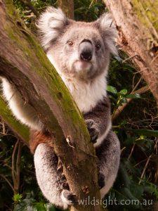 Koala, Port Campbell