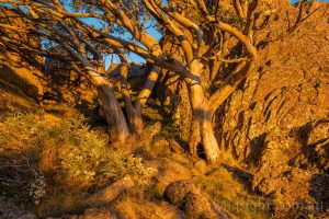 Snowgums at sunset on Mount Cobberas No.1