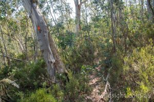 Walking track to Mt Cobberas No.1, Alpine National Park Victoria