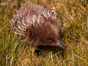 Echida, Cradle Mountain-Lake St Clair National Park Tasmania