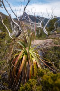 Pandani on the Labyrinth, Cradle Mountain-Lake St Clair National Park Tasmania